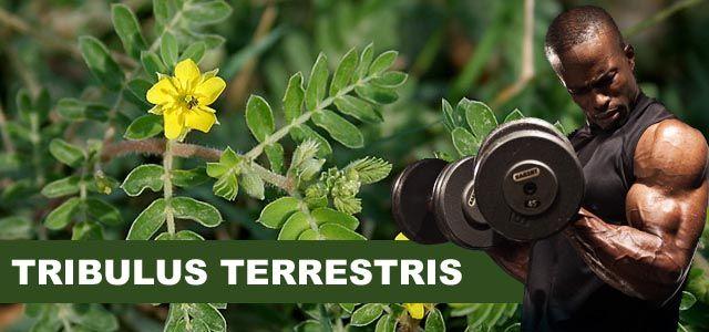 tribulus terrestris gymbeam